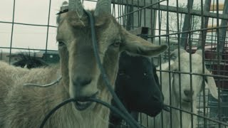 "DIRECTV COMMERCIAL- ""TALKING GOATS"""