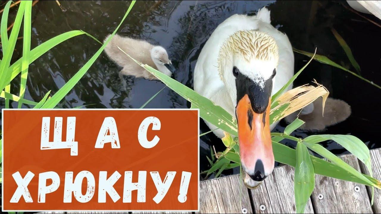 Лебедь хрюкает, птенцы свистят. Альпийское озеро!