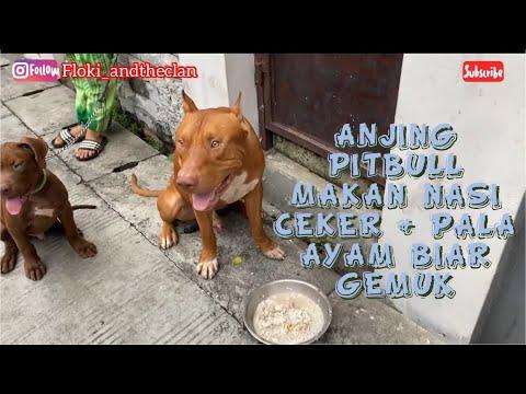 Cara Menggemukan Anjing Pitbull Dan Melatih Merayap Youtube