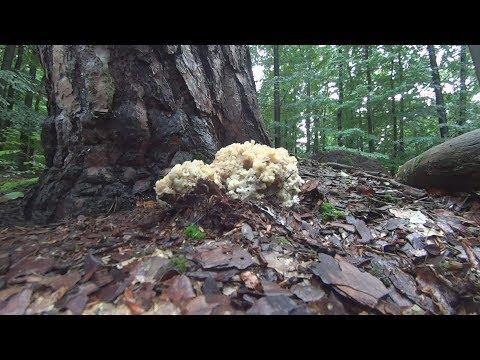 Krause Glucke oder Fette Henne (Sparassis crispa)