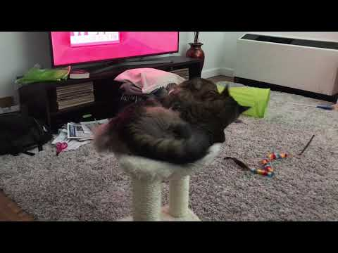 Siberian Cat Giving Brother a Bath