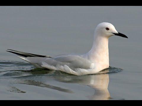 Морские голубки. Samur-Yalama National Park
