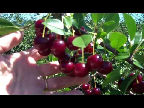 U of S Dwarf Sour Cherries