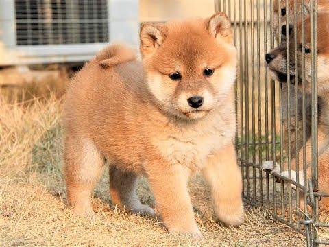 Japanese Dog Breeds Shiba Inu