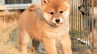 Japanese Shiba Inu Shiba Inu is one of Japan's native dog breeds. M...