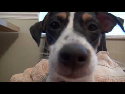 Jack Russell Terrier puppy barking