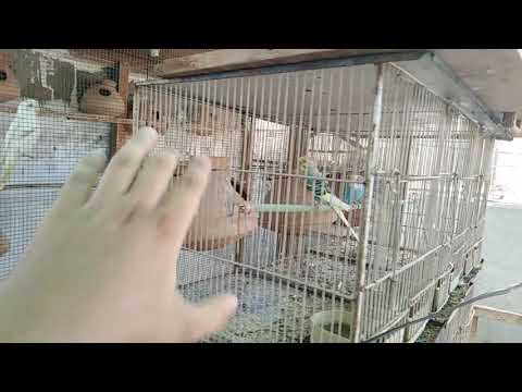 MINIMUM SIZED CAGES FOR FINCHES/BUDGIES/FISHERS/LUTINO AND