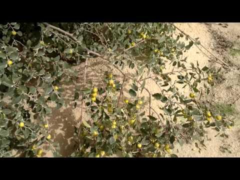 إنتاج أشجار السدر الكنار المحسن - Gulf Plants