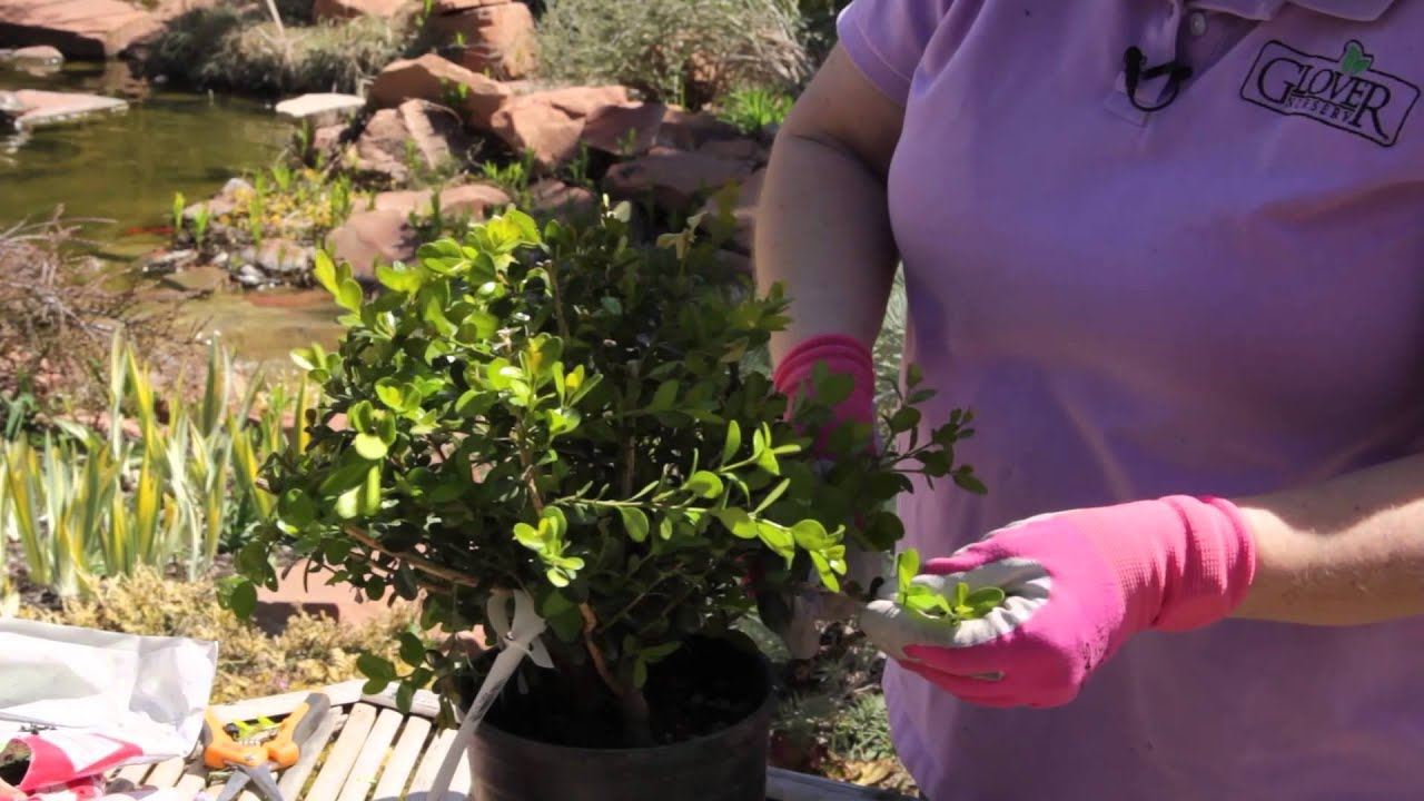 How Far Back Can Japanese Boxwoods Be Safely Cut Back? : Grow Guru