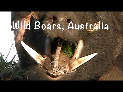 Wild Boars Australia, Pig Hunting Compilation 2.