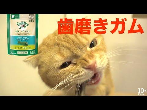 猫たちみんなでGreenies歯磨きガムを食べる