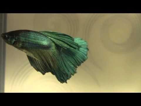 Beautiful green betta fish - YouTube