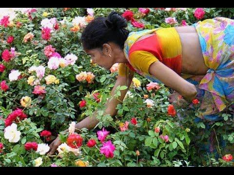 techniques in rose farming paadi pantalu youtube rh youtube com Rainbow Roses Valentine Roses