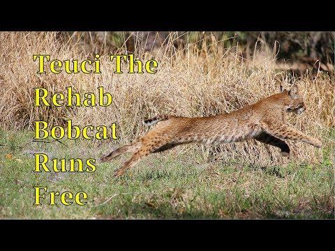 Teuci The Rehab Bobcat Is Set Free