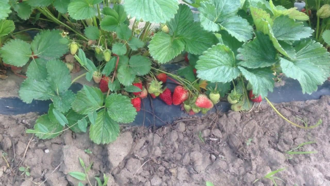 Монтерей имеет высокую урожайность (она урожайнее клубники сорта альбион на 30 %), а также отличается от прародителя тем, что ягода более крупная (вес 30 г), сочная и сладкая, при. При ранней весенней высадке саженцев сбор урожая начинается в конце июня и продолжается до ноября.