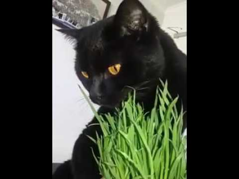 Se7en the Bombay eating his cat grass