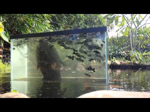 Upside down fish tank on pond doovi for Aquarium fish for pond