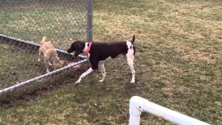Handsome German Short Haired Pointer Available For Adoption