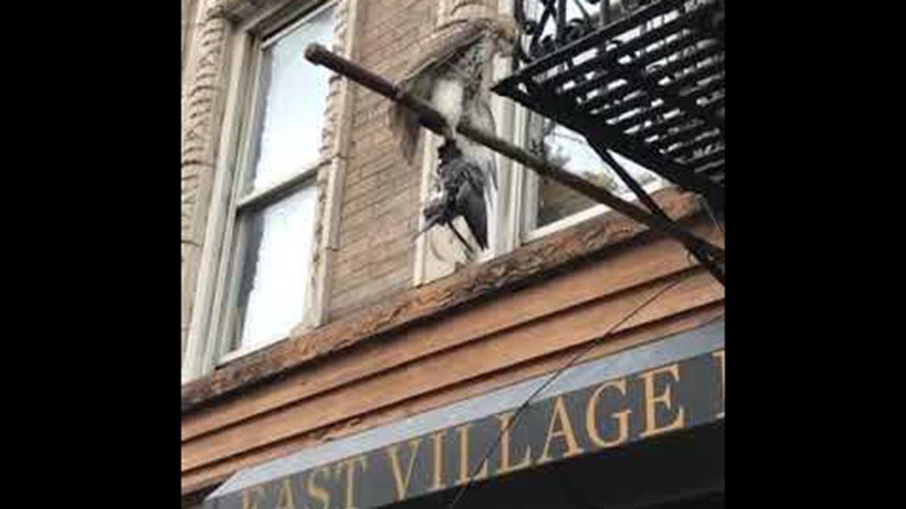 Hawk Catches Pigeon in New York    ViralHog