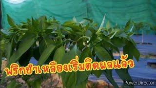 #ทำสวน, ปลูกพริก,พริกยำเหลืองเริ่มติดผลอ่อน,ปัญหาและการดูแล