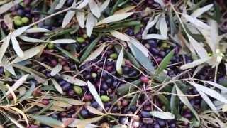 La produzione dell'Olio Extravergine - Azienda Agricola LAME