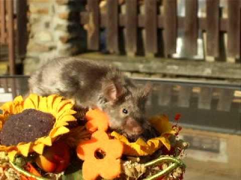 fancy mice - mouse buck blue..