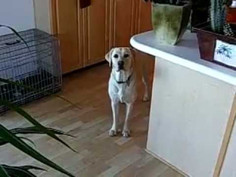 Awesome labrador dog fetches a beer from fridge for owner! HOW cool!?