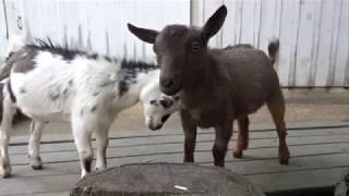 Cute goats frolicking and having fun