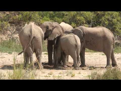 Desert and Wild African Desert Elephants (Namibia, Kaokoland, Etusis Lodge, 2010)