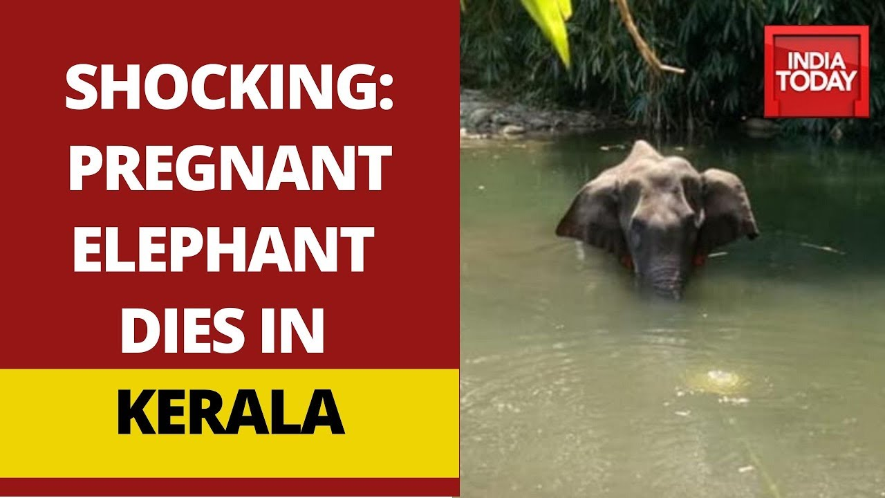 Pregnant Elephant Dies After Eating Pineapple Stuffed With