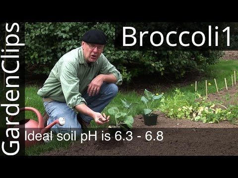How to Grow Broccoli, Cabbage, and Other Cole Crops - Part 1 Planting