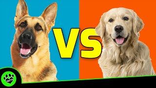 German Shepherd Vs Golden Retriever Which is Better? Dog vs Dog