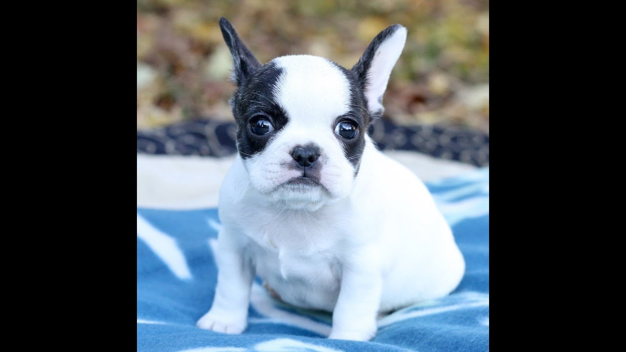 french bulldog hybrid royal frenchel micro mini 'murphy