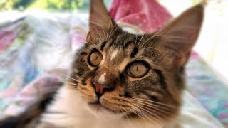 Maine Coon Cat Willy and kittens,  1