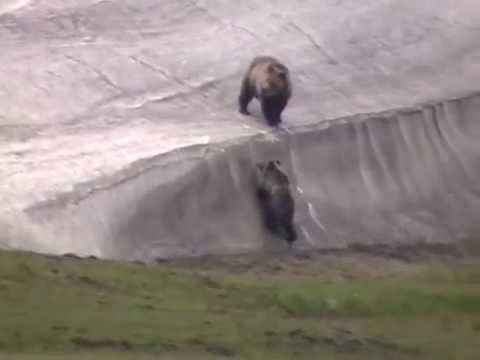 Grizzly Bear and Cubs on the Snowbank (Yellowstone 2011)