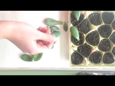 Способ выращивания и размножения суккулентов