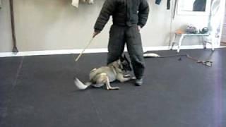 Tampa Working Dog Club