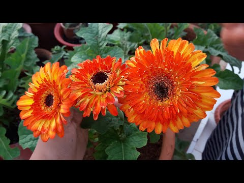 How to Grow and Care Gerbera Plant || Care of Gerbera Plant