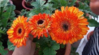 How to Grow and Care Gerbera Plant || Care of Gerbera Plant