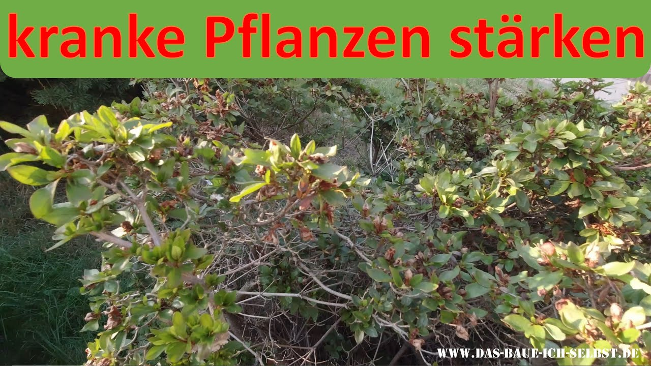 🌿🌿🌿 Azalee krank - Blätter braun - gelb - eingerollt - fallen aus -  Pflanzen stärken 🌿🌿🌿