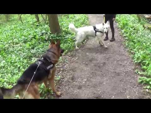 German Shepherds fight Dominance.