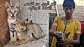 الهر البري شبيه النمر العربي جمال وشراسه سبحان الله
