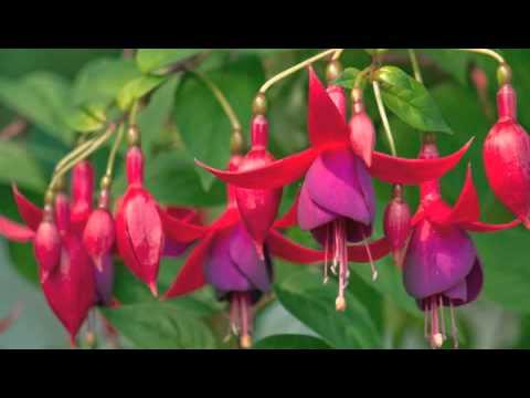 Een stekkie van de Fuchsia