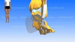Les muscles de la jambe : loge latérale