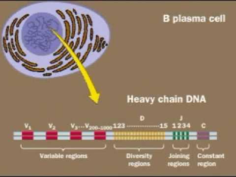 Antibody Diversity.flv