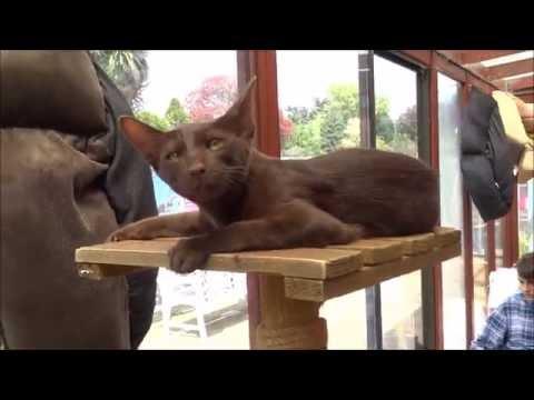 Havana Brown Cats 2016 HD