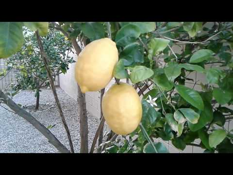 fruit / citrus trees grapefruit, lemon, lime Southern California