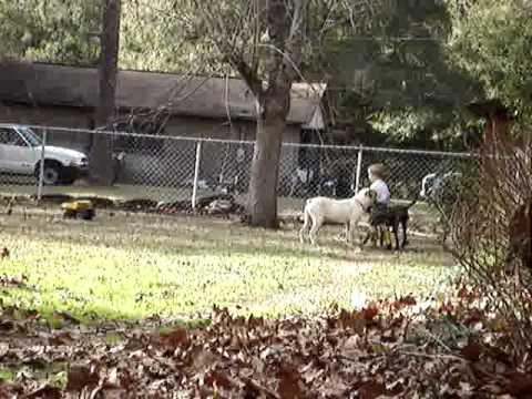 White English Bulldog And Brindle Bulldog