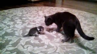 Кошка не умеет брать котёнка