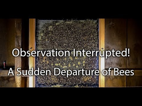 Honey Bees Swarming OUT of my Observation Hive Not Much you can Do